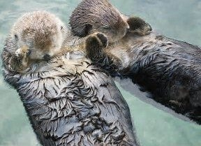 Sea otters holding hands to keep from drifting away from each other while sleeping